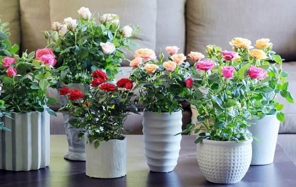 Роза-Кордана-цветок-Описание-особенности-виды-и-выращивание-розы-Кордана-12