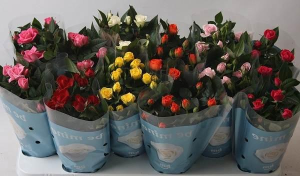 Роза-Кордана-цветок-Описание-особенности-виды-и-выращивание-розы-Кордана-14