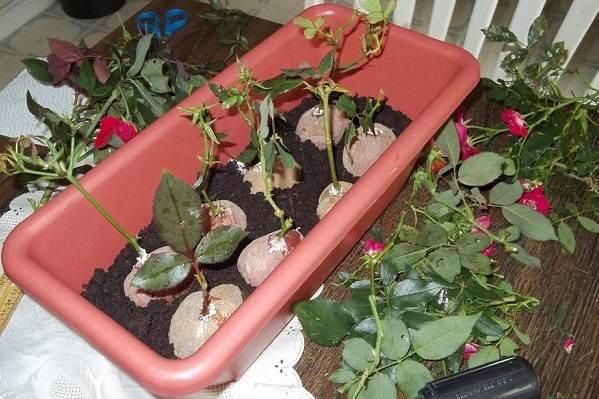 Как-посадить-розу-из-букета-11