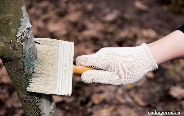Побелка-деревьев-Для-чего-когда-и-чем-белить-деревья-6