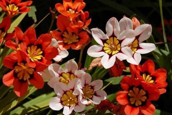 Спараксис-цветок-Описание-особенности-виды-посадка-и-уход-за-спараксисом-10