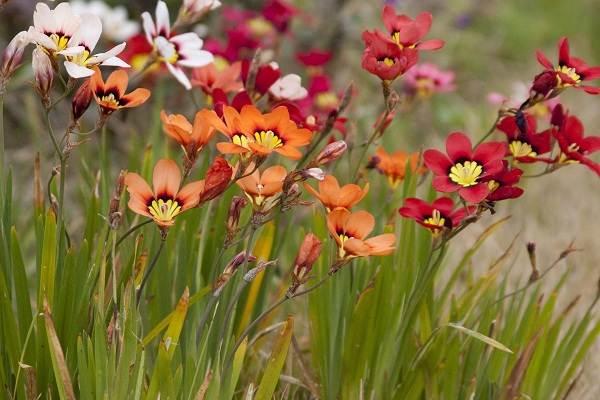Спараксис-цветок-Описание-особенности-виды-посадка-и-уход-за-спараксисом-16