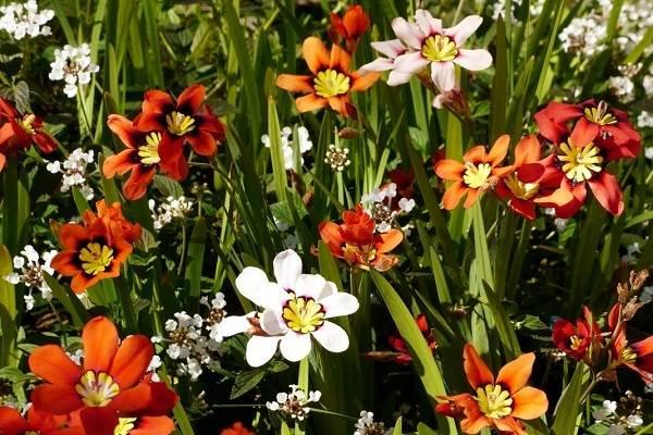 Спараксис-цветок-Описание-особенности-виды-посадка-и-уход-за-спараксисом-7