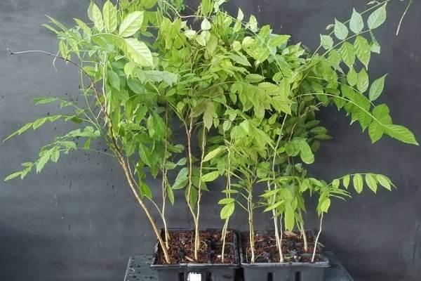 Глициния-растение-Описание-и-особенности-виды-и-сорта-как-и-где-сажать-глицинию-20