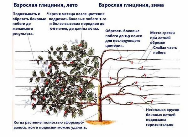 Глициния-растение-Описание-и-особенности-виды-и-сорта-как-и-где-сажать-глицинию-23