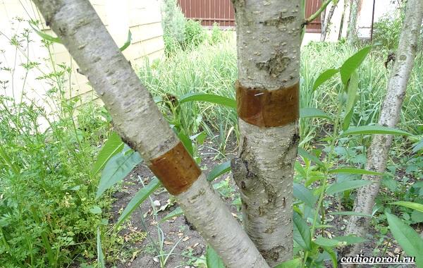 Ловчий-пояс-для-деревьев-Что-такое-зачем-нужен-и-как-сделать-ловчий-пояс-своими-руками-22