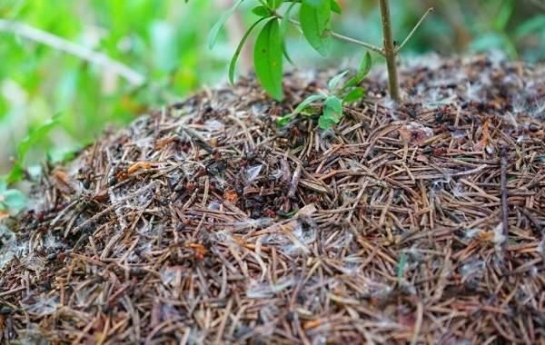 Муравьи-в-огороде-Польза-вред-и-как-бороться-с-муравьями-в-огороде-6