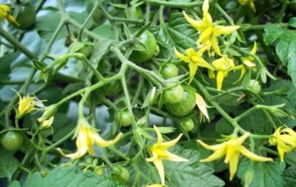 Почему-в-теплице-не-опыляются-помидоры-Как-и-чем-опылять-помидоры-в-теплице-6