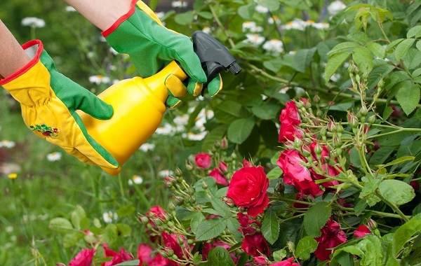 Тля-на-розах-Причины-появления-и-способы-борьбы-с-тлёй-на-розах-18