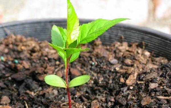 Черешня-растение-Описание-и-особенности-сорта-польза-и-вред-уход-и-выращивание-черешни-17
