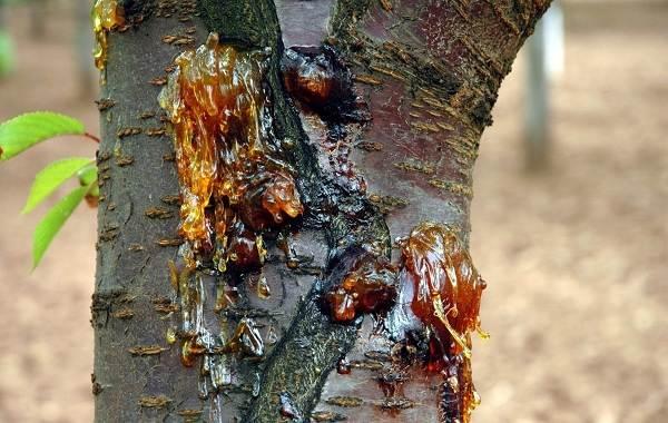 Черешня-растение-Описание-и-особенности-сорта-польза-и-вред-уход-и-выращивание-черешни-26