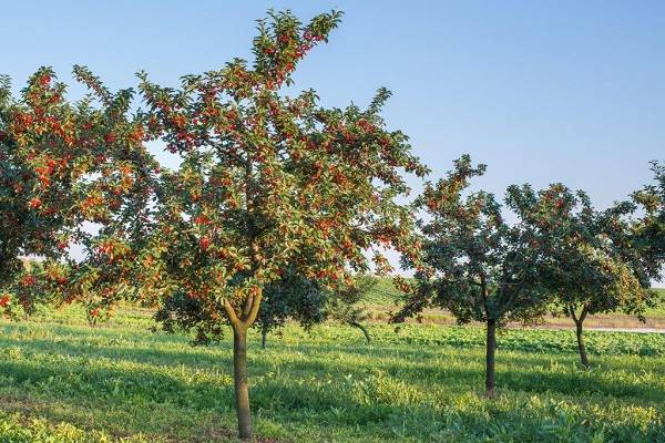 Черешня-растение-Описание-и-особенности-сорта-польза-и-вред-уход-и-выращивание-черешни-3