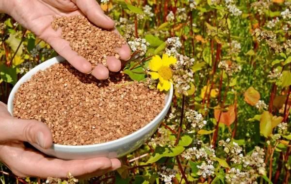 Гречиха-растение-Описание-особенности-виды-сорта-выращивание-и-свойства-гречихи-19