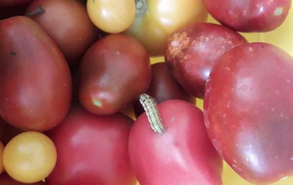 Гусеница-совки-вредитель-в-огороде-Как-выглядит-какой-вред-наносит-и-как-с-ней-бороться-14
