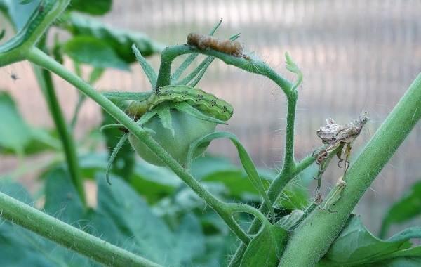 Гусеница-совки-вредитель-в-огороде-Как-выглядит-какой-вред-наносит-и-как-с-ней-бороться-18