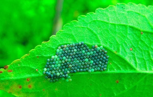 Гусеница-совки-вредитель-в-огороде-Как-выглядит-какой-вред-наносит-и-как-с-ней-бороться-21