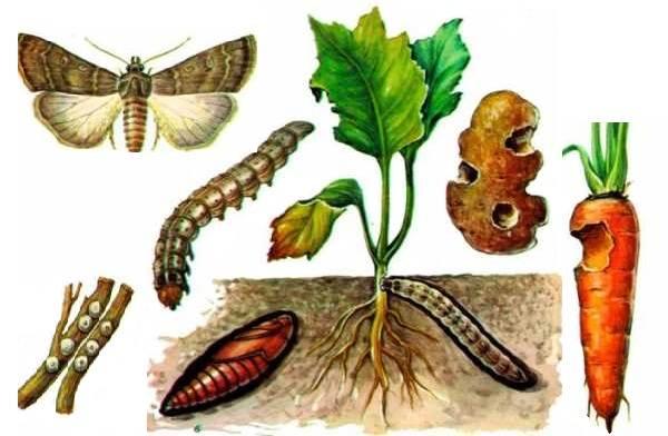 Гусеница-совки-вредитель-в-огороде-Как-выглядит-какой-вред-наносит-и-как-с-ней-бороться-3