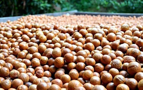 Макадамия-орех-из-Австралии-Свойства-польза-и-вред-происхождение-и-цена-макадамии-6