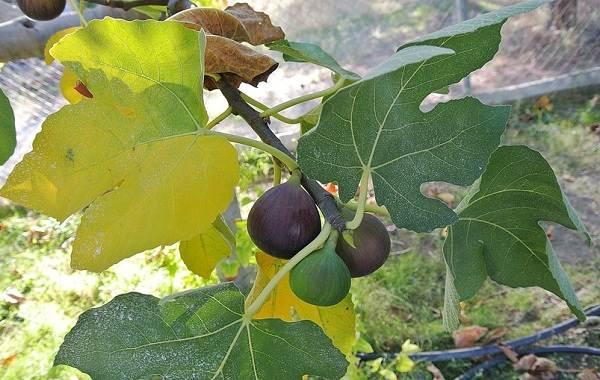 Почему-опадают-плоды-фруктовых-деревьев-и-что-делать-чтобы-спасти-урожай-11