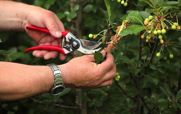 Почему-опадают-плоды-фруктовых-деревьев-и-что-делать-чтобы-спасти-урожай-3