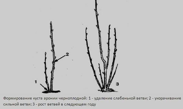 Арония-черноплодная-ягода-Описание-особенности-сорта-и-выращивание-аронии-12