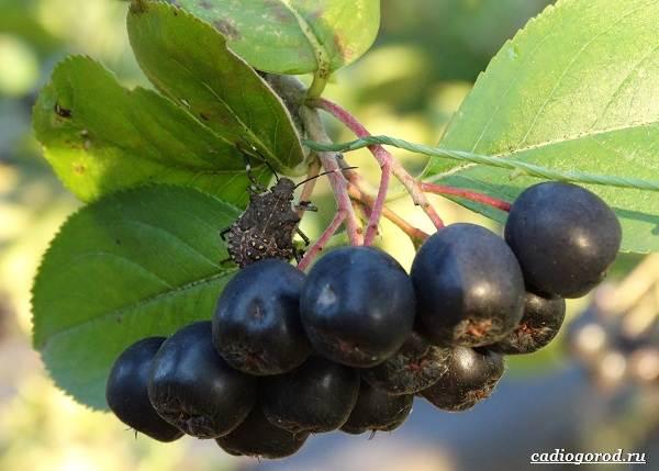 Арония-черноплодная-ягода-Описание-особенности-сорта-и-выращивание-аронии-22