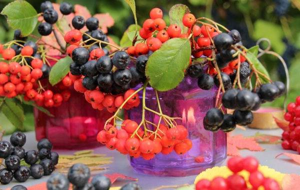Арония-черноплодная-ягода-Описание-особенности-сорта-и-выращивание-аронии-4