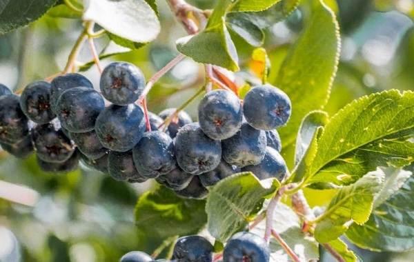 Арония-черноплодная-ягода-Описание-особенности-сорта-и-выращивание-аронии-8