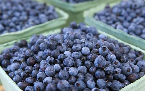 Черника-ягода-Описание-и-особенности-свойства-виды-и-сорта-уход-и-выращивание-черники-12