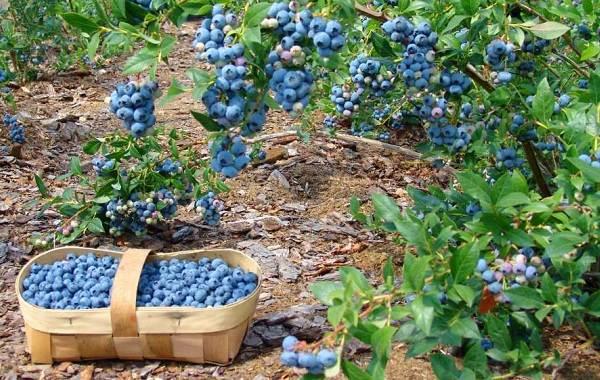 Черника-ягода-Описание-и-особенности-свойства-виды-и-сорта-уход-и-выращивание-черники-7