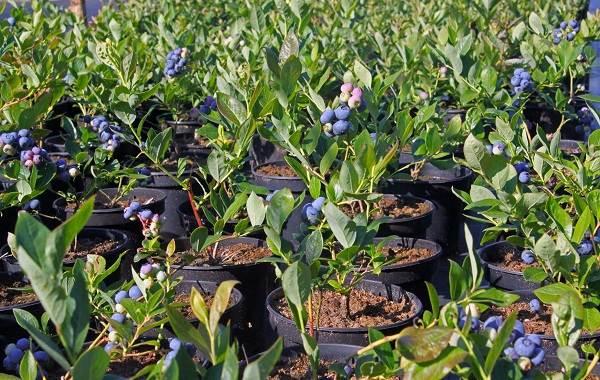 Голубика-ягода-Описание-особенности-полезные-свойства-и-выращивание-голубики-11