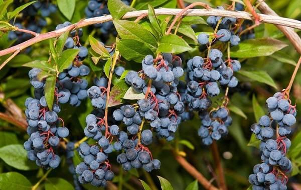 Голубика-ягода-Описание-особенности-полезные-свойства-и-выращивание-голубики-4