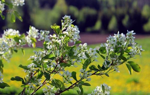 Ирга-ягода-Описание-особенности-сорта-свойства-и-выращивание-ирги-9