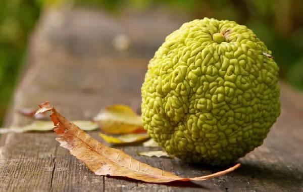 Маклюра-или-адамово-яблоко-Описание-особенности-свойства-и-рецепты-из-маклюры-1