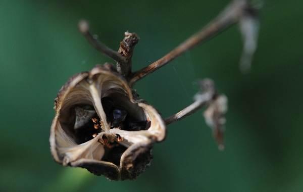 Саранка-цветок-Описание-особенности-виды-сорта-выращивание-и-цена-саранки-17