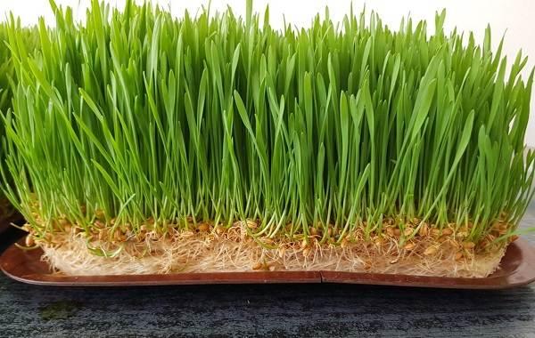 Что-такое-микрозелень-Описание-особенности-выращивание-и-полезные-свойства-5