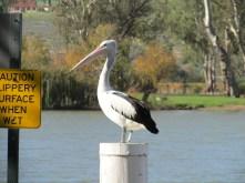 Pelican at Mannum, SA