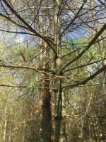 gypsy moth summer pine