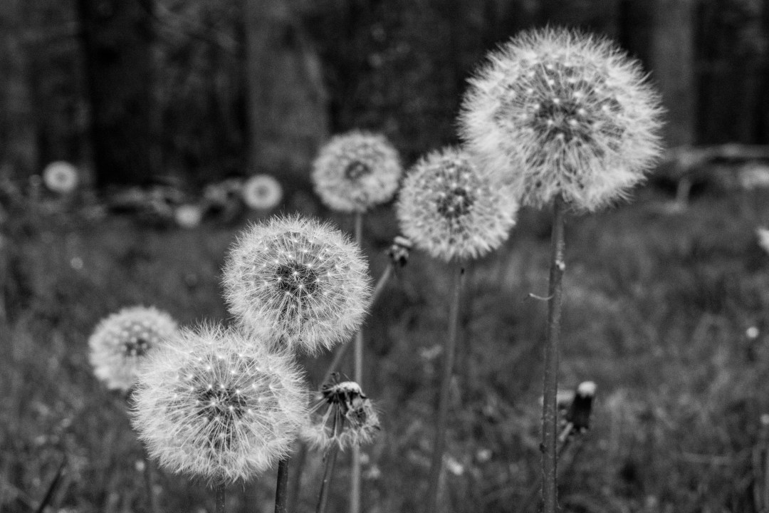 a group of dandelions gone to seed