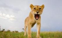 La porte parole des lions est férocement iritée contre Disney.