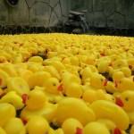Milliers de canards!