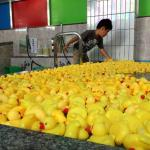 Toujours plus de canards