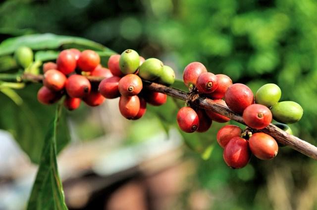 arabica plant cherry