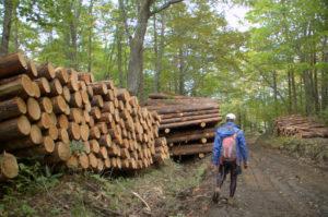 伐採された杉の木