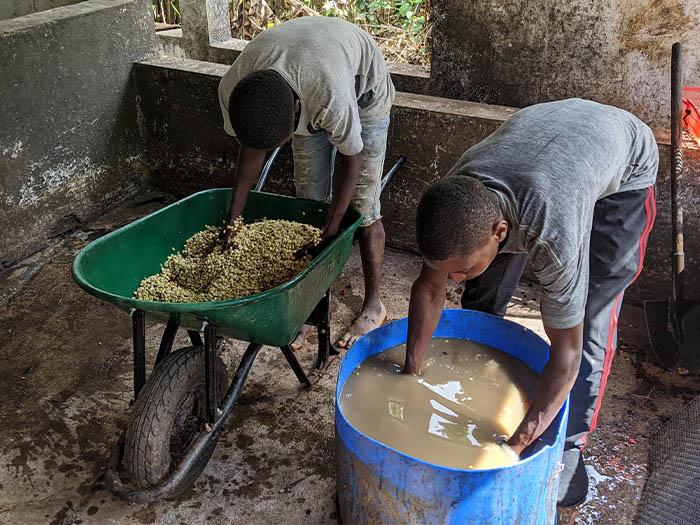 cafe kreyol coffee haiti farmers Savane Zombie 02
