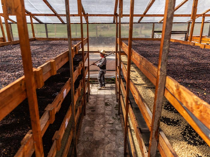 cafe kreyol organic coffee farmers 18 rabbit honduras 03
