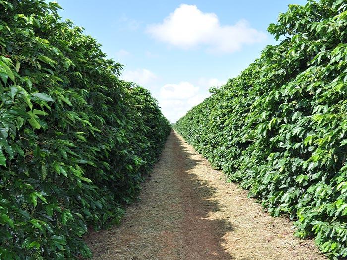 cafe kreyol organic coffee farmers Brazil Yellow Catuai Brazil 02