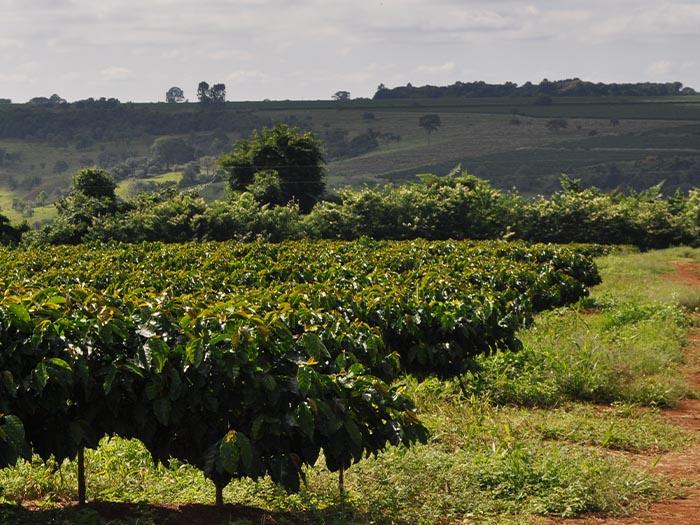 cafe kreyol organic coffee farmers Brazil Yellow Catuai Brazil 03