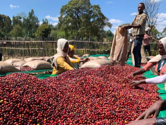 cafe kreyol organic coffee farmers biru bekele ethiopia