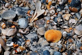Shells at the seashore 2